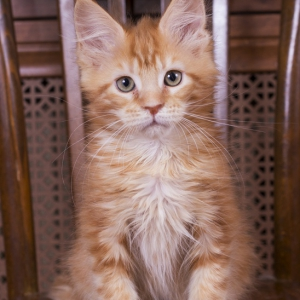 красный котенок мейн кун Begonia из питомника Estate pearls*RU фото в возрасте 3 месяца