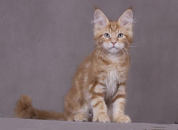 котенок мейн кун Bubba Estate Pearls*RU 3 месяца, окрас d 22