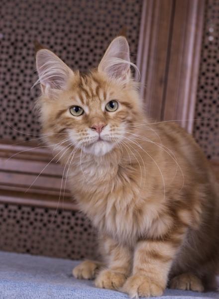красный мраморный котенок мейн кун Bubba Estate Pearls*RU 4 месяца