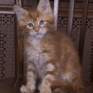 красный мраморный котенок мейн кун Bubba Estate Pearls*RU 2 месяца