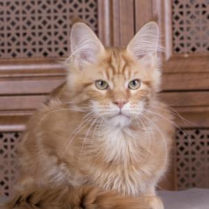 котенок мейн кун Bubba Estate Pearls*RU 4 месяца, окрас d 22