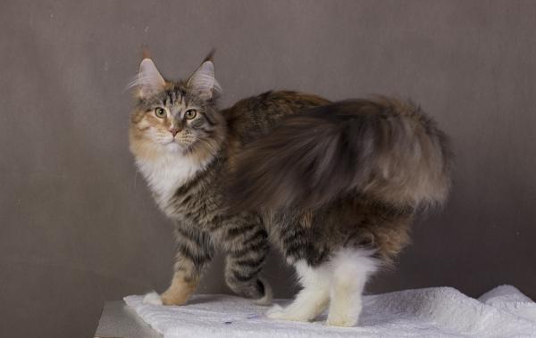 котенок мейн кун Campar фото в возрасте 6 месяцей окрас f 09 24 из питомника Estate Pearls*RU