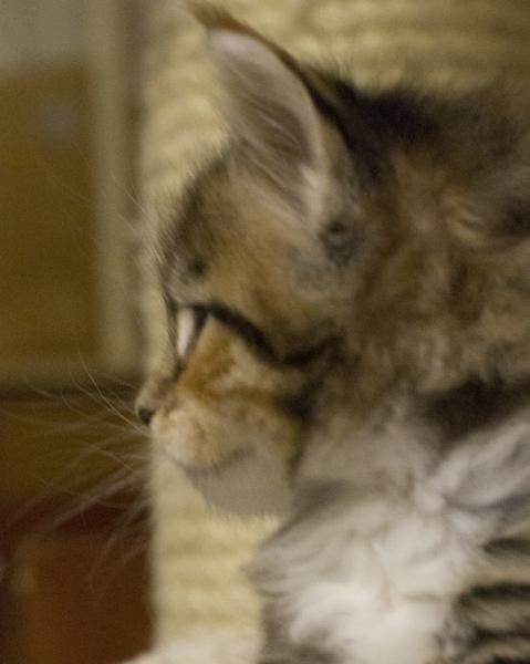 котенок мейн кун Campar iфото в возрасте 3 недели окрас f 09 24 из питомника Estate Pearls*RU