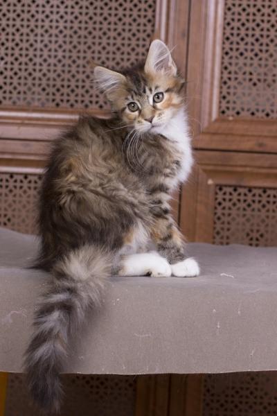 котенок мейн кун Campar iфото в возрасте 2 месяца окрас f 09 24 из питомника Estate Pearls*RU