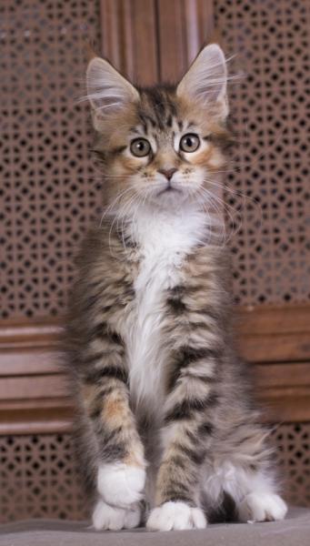 котенок мейн кун Campari окрас f 09 24 из питомника Estate Pearls*RU фото в возрасте 2 месяца