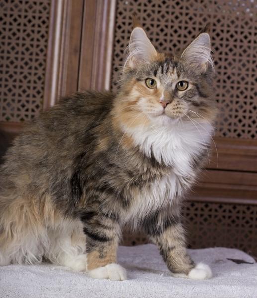 котенок мейн кун Confetti из питомника Estate Pearls . фото в 6 месяцев окрас f 09 24