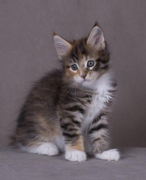 котенок мейн Confetti из питомника Estate Pearls*RU фото в возрасте 1,2 месяца окрас f 0924