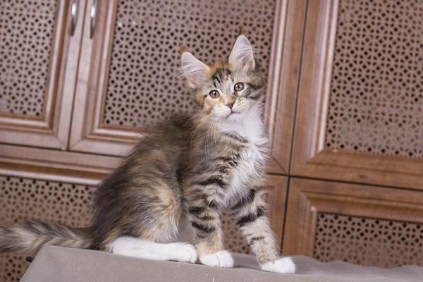отенок мейн Confetti из питомника Estate Pearls*RU фото в возрасте 2 месяца окрас f 0924
