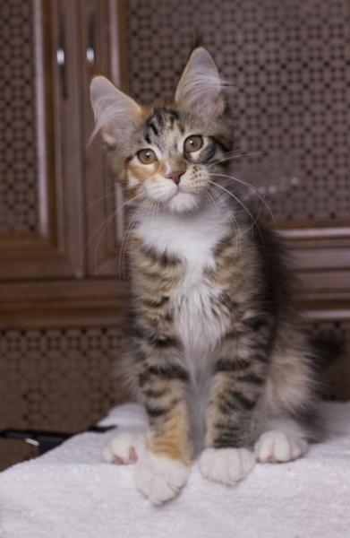 мейн кун, фото мейн кун, питомник кошек мейн кун, купить котенка мейн кун, майне кун, фото котенка мей н кун, купить котенка спб, кошка мейн кун, нарядная кошка мейн кун