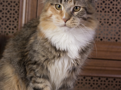 котенок мейн кун Confetti Estate Pearls s. фото в 6 месяцев окрас f 09 24