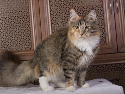котенок мейн кун Confetti из питомника Estate Pearls. окрас f 09 24