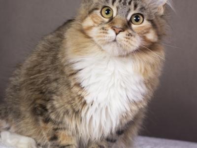 котенок мейн Confetti из питомника Estate Pearls*RU окрас f 0924 фото в возрасте 6 месяцев