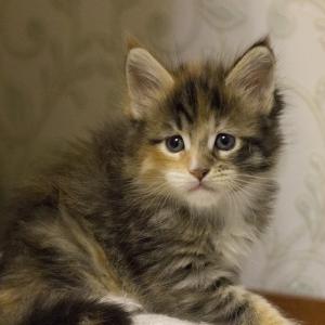 котенок мейн Confetti из питомника Estate Pearls*RU фото в возрасте 3 недели