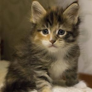 котенок мейн Confetti из питомника Estate Pearls*RU окрас f 0924 фото в возрасте 3 недели