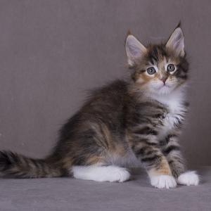 ракотенок мейн Confetti Estate Pearls*RU фото в возрасте 1,2 месяца окрас f 0924