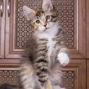 котенок мейн Confetti из питомника Estate Pearls*RU окрас f 0924 фото в возрасте 2 месяца