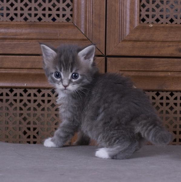 котенок мейн кун Denise из питомника Estate Pearls. фото в возрасте 1 месяц, окрас a 09 23
