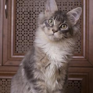 котенок мейн кун Denise Estate Pearls. фото в возрасте 4,5 месяца, окрас a 09 23