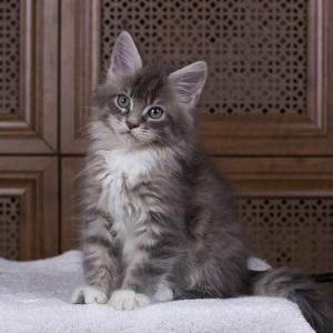 котенок мейн кун Denise Estate Pearls. фото в возрасте 2,5 месяца, окрас a 09 23