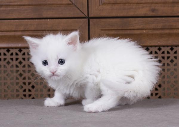 белый котенка мейн кун Desire Estate Pearls. фото в возрасте 1 месяц,