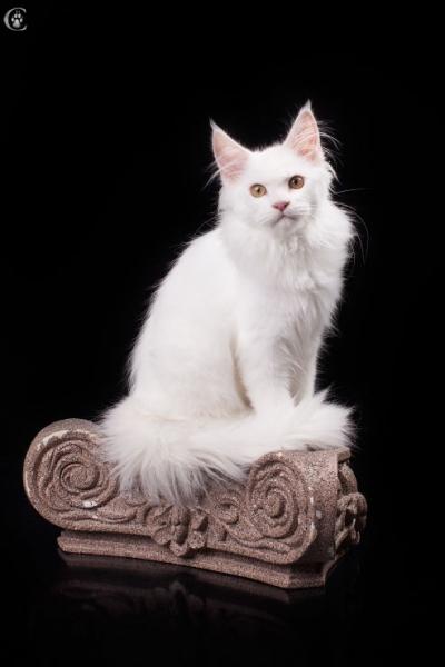 белый котенка мейн кун Desire Estate Pearls. фото в возрасте 4,5 месяца,