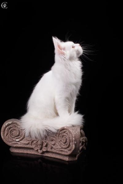 белый котенка мейн кун Desire Estate Pearls. в возрасте 4,5 месяца,
