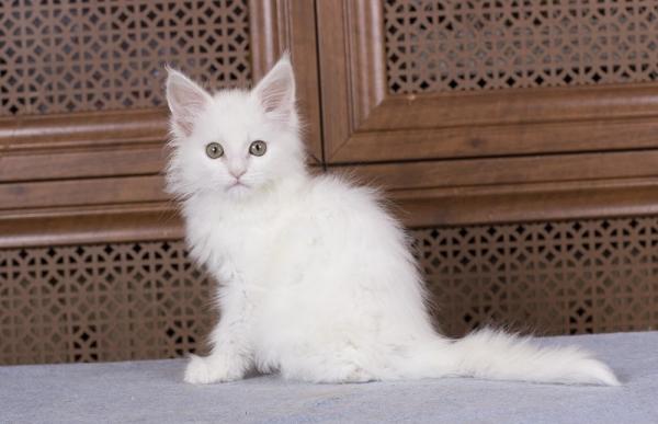 белый котенка мейн кун Desire Estate Pearls. фото в возрасте 2,5 месяца,