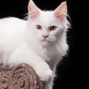 белый котенка мейн кун Desire из питомника Estate Pearls. фото в возрасте 4,5 месяца,