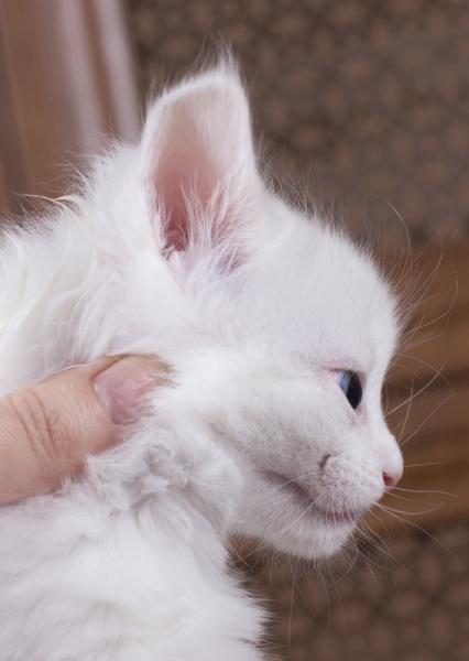 белый котенок мейн кун Dream Catcher из питомника Estate Pearls. фото в возрасте 1 месяц