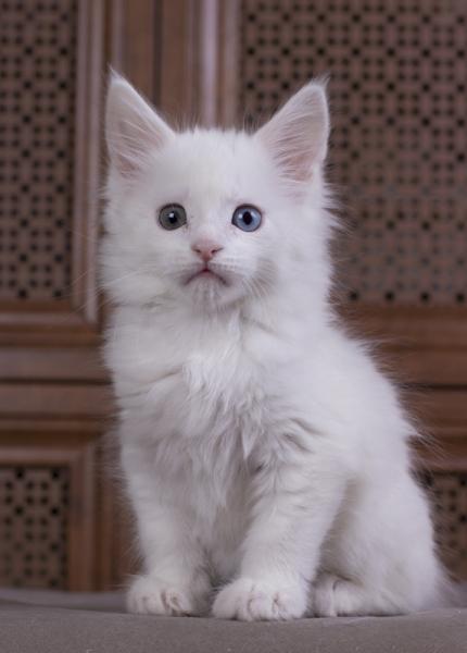 котенок мейн кун Dream Catcher из питомника Estate Pearls. фото в возрасте 1,1 месяц