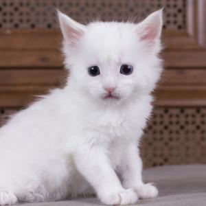 котенок мейн кун Dream Catcher из питомника Estate Pearls. фото в возрасте 1 месяц, окрас белый