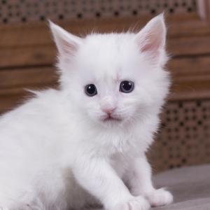котенок мейн кун Dream Catcher из питомника Estate Pearls. фото в возрасте 1 месяц