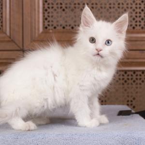 котенок мейн кун Dream Catcher из питомника Estate Pearls. фото в возрасте 2,5 месяца