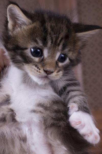 котенок мейн кун Durrell из питомника Estate Pearls*RU. фото в возрасте 1 месяц