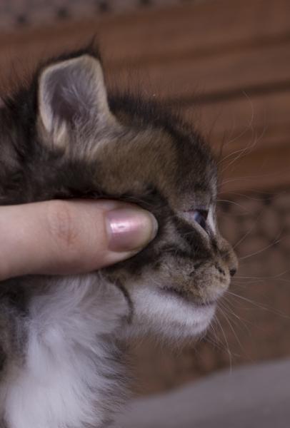 котенок мейн кун Durrell Estate Pearls*RU. фото в возрасте 1 месяц