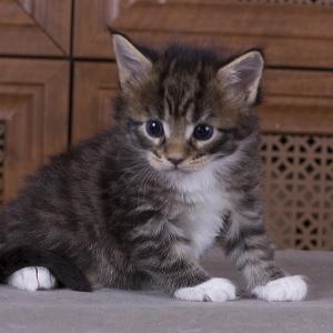 котенок мейн кун Durrell из питомника Estate Pearls*RU. 1 месяц