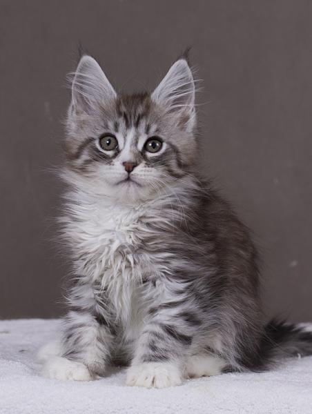 котенок мейн кун Acapella из питомника Estate Pearls окрас серебро с белым