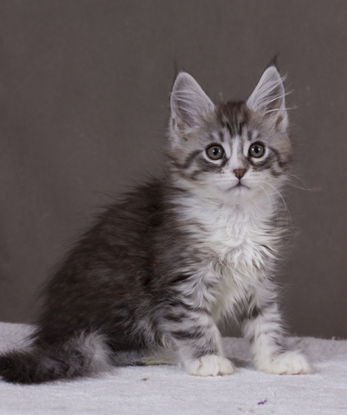 котенок мейн кун Acapella Estate Pearls окрас серебро с белым фото в возрасте 2 месяца