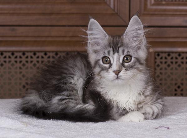 котенок мейн кун Acapella из питомника Estate Pearls окрас серебро с белым фото в возрасте 3 месяца