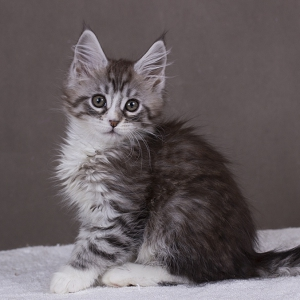 котенок мейн кун Acapella из питомника Estate Pearls окрас серебро с белым фото в возрасте 2 месяца