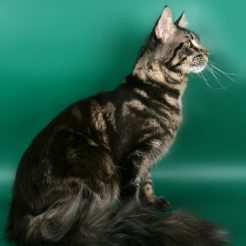 кот мейн кун Estate PearlS Аerosmith