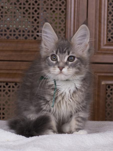котенок мейн кун Aventura из питомника Estate Pearls. фото в возрасте 3 месяца
