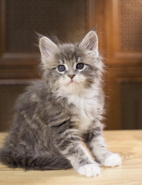 котенок мейн кун Aventura из питомника Estate Pearls. фото в возрасте 1,2 месяца, окрас - a 09 22