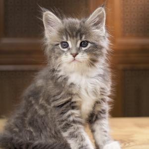 котенок мейн кун Aventura из питомника Estate Pearls. фото в возрасте 1,2 месяца, окрас - голубой табби с белым