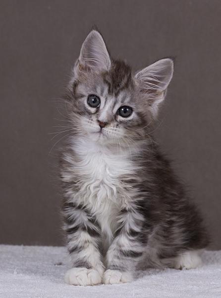 котенок мейн кун Aventura из питомника Estate Pearls. фото в возрасте 2 месяца