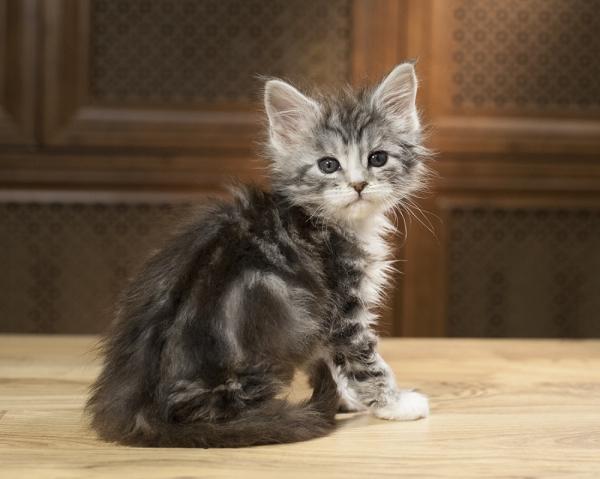 котенок мейн кун Aventura из питомника Estate Pearls. фото в возрасте 1,2 месяца