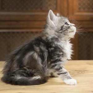 котенок мейн кун Aventura Estate Pearls, окрас черное серебро с белым, фото в возрасте 1,2 месяца