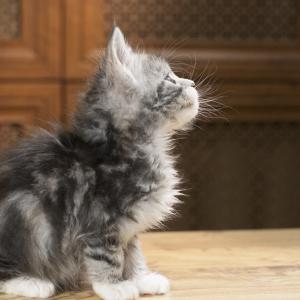 котенок мейн кун Aventura из питомника Estate Pearls. окрас черное серебро с белым, фото в возрасте 1,2 месяца.