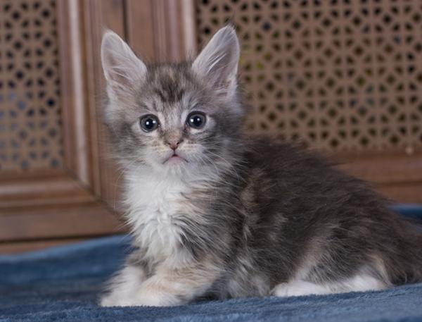 котенок мейн кун  Be My Valentine Estate Peasrls