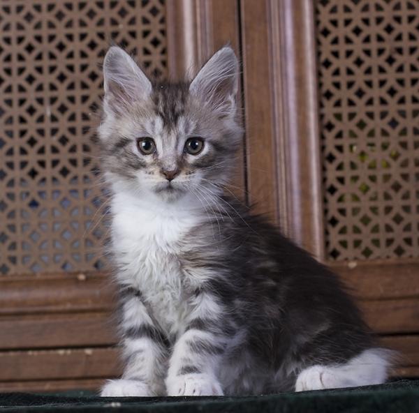котенок мейн кун Bellini Estate Pearls